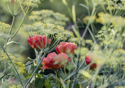 Ferdinand Graf Luckner Buch Der Neue Rosen Garten 004