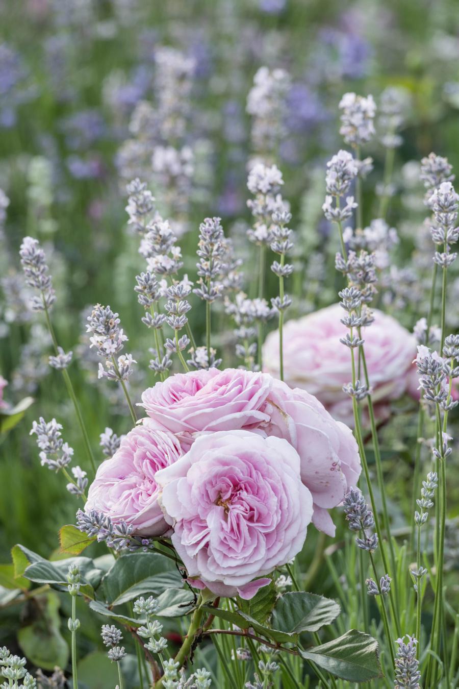 Ferdinand Graf Luckner Buch Der Neue Rosen Garten 005