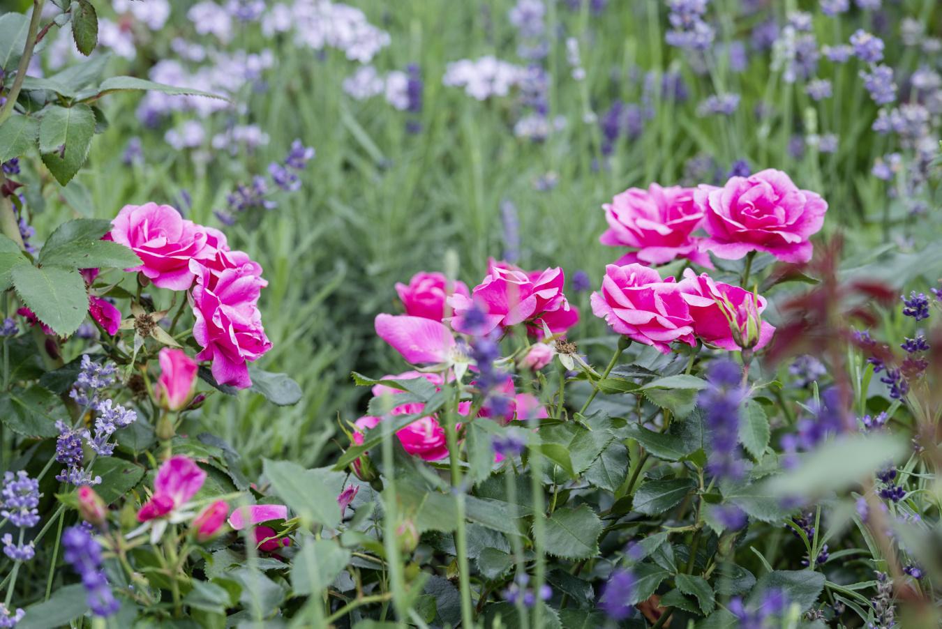 Ferdinand Graf Luckner Buch Der Neue Rosen Garten 006