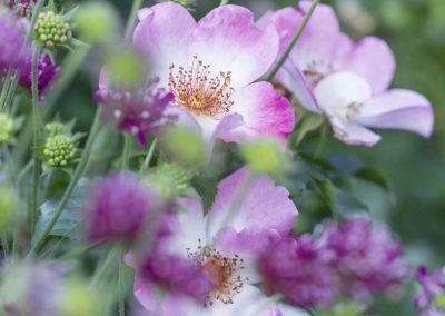 Ferdinand Graf Luckner Buch Der Neue Rosen Garten 008