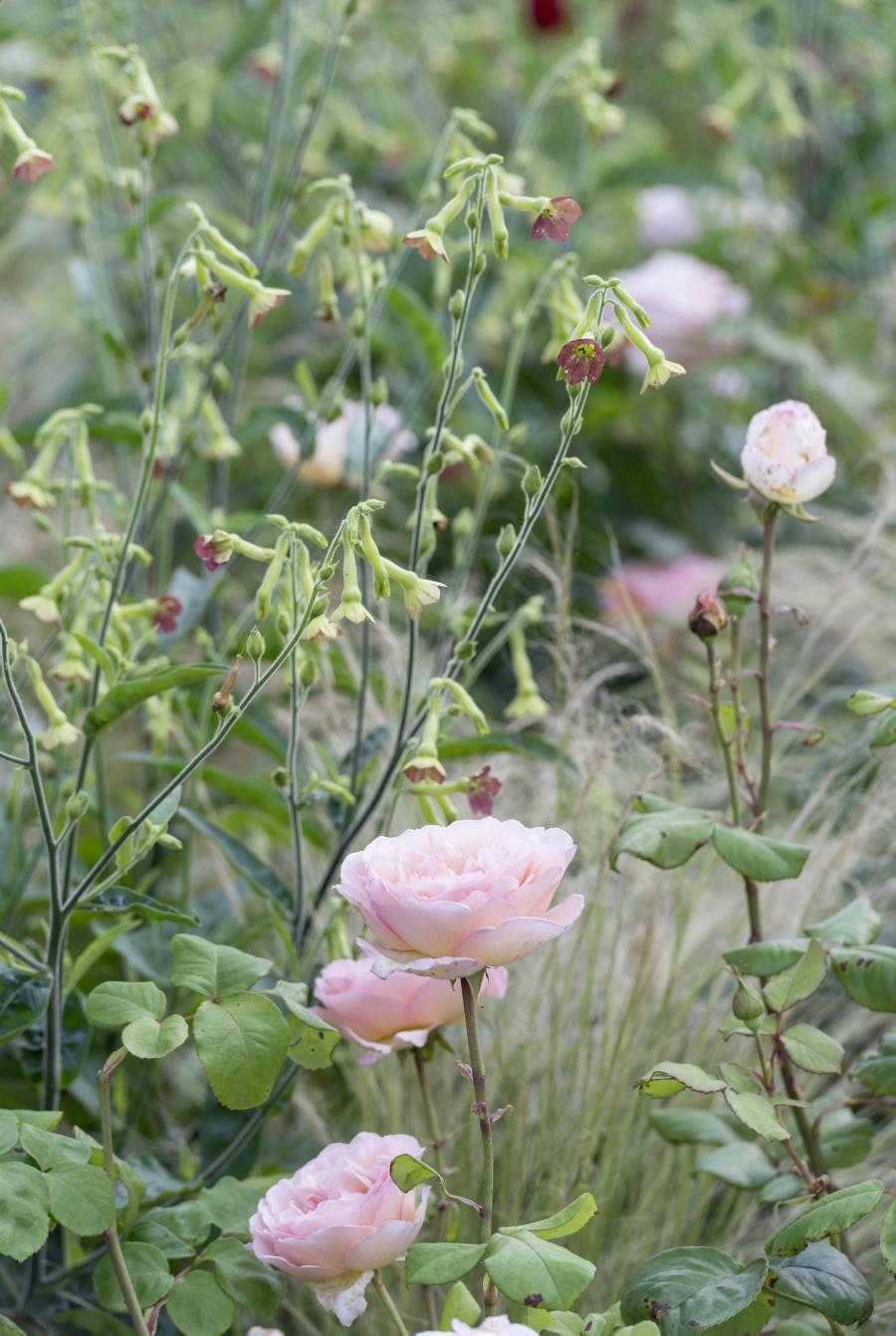 Ferdinand Graf Luckner Buch Der Neue Rosen Garten 007