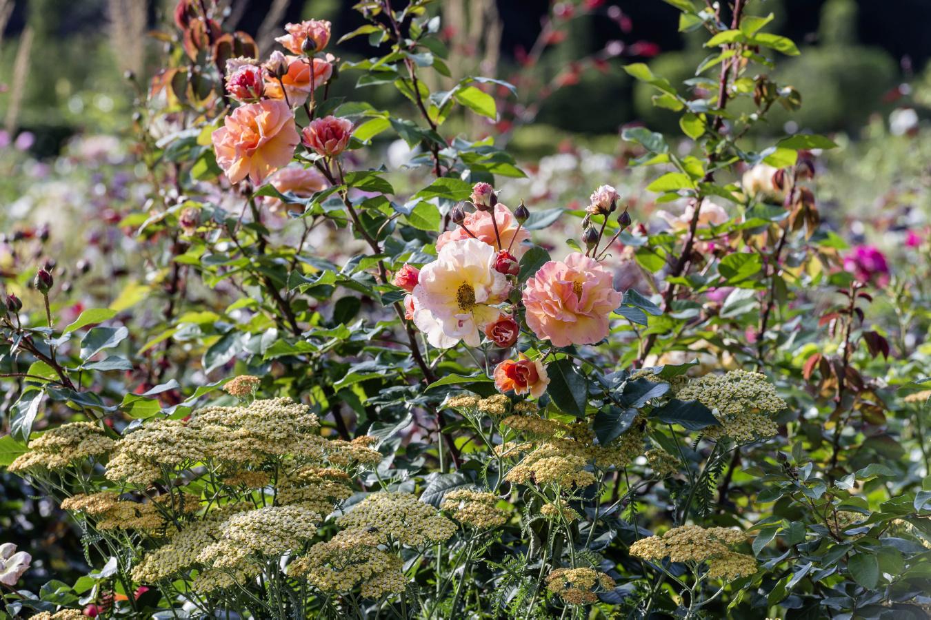 Ferdinand Graf Luckner Buch Der Neue Rosen Garten 010
