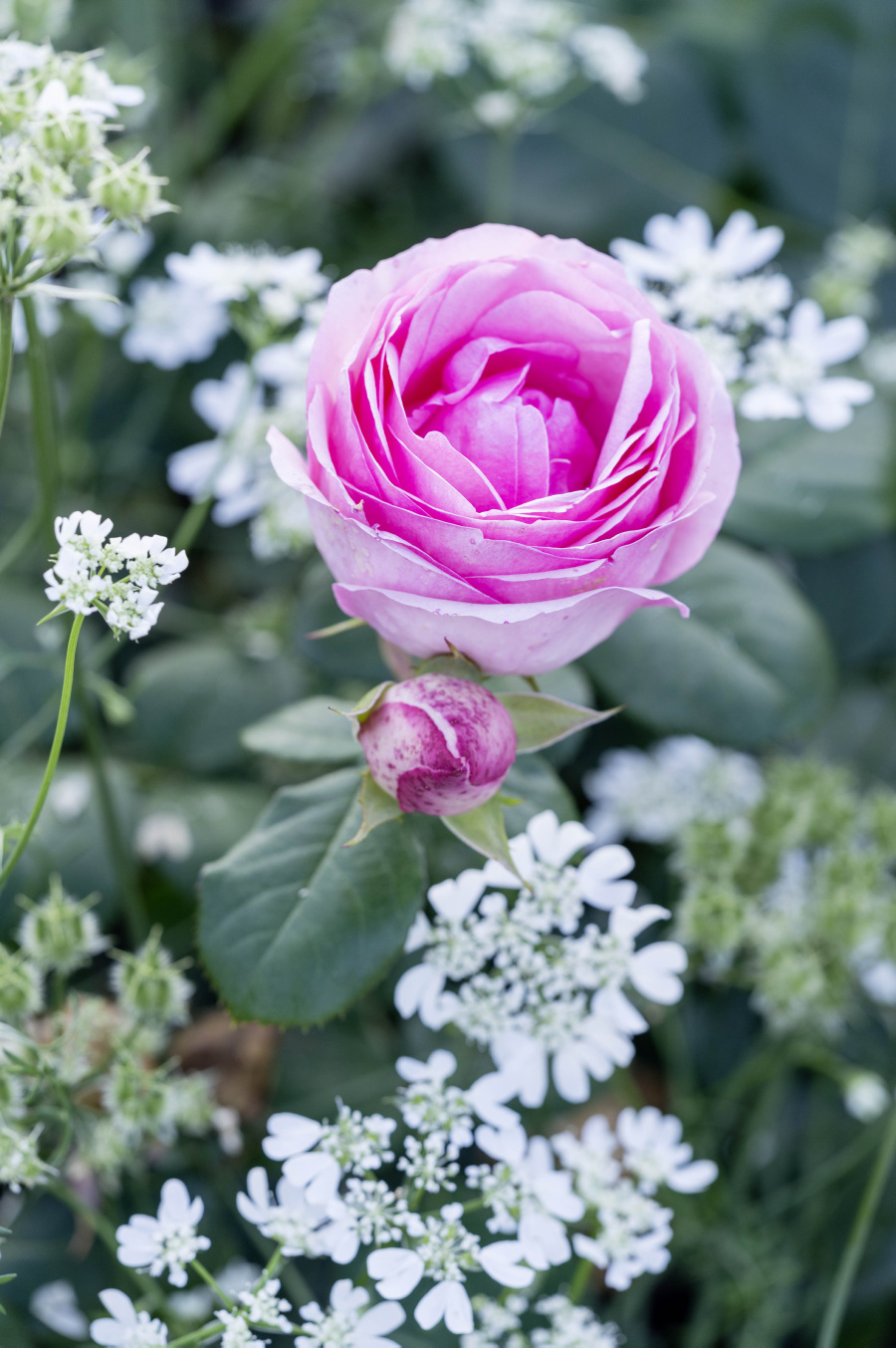 Ferdinand Graf Luckner Buch Der Neue Rosen Garten 015