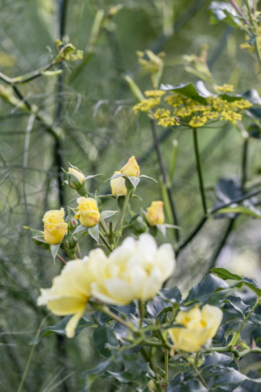 Ferdinand Graf Luckner Buch Der Neue Rosen Garten 016